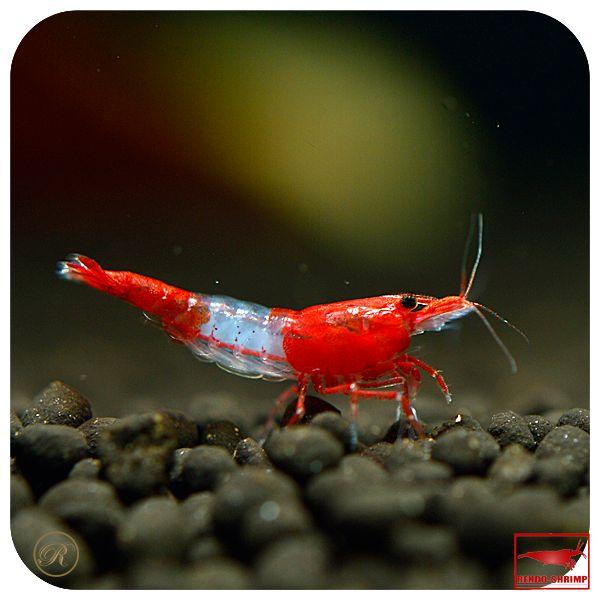 120 besten freshwater inverts bilder auf pinterest aquarien s wasseraquarium und garnele. Black Bedroom Furniture Sets. Home Design Ideas