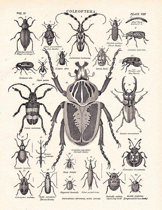 Coleoptera, antique beetle print, this site is a good source for vintage illustrations. #vintagebeetleprint #beetles #coleoptera