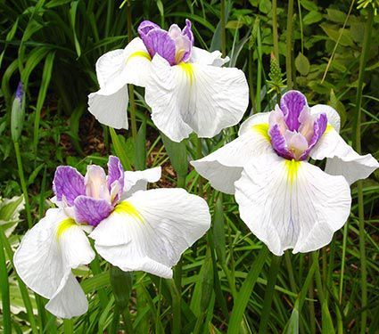 Iris ensata Queen's Tiara - An enchanting variety with pristine white flowers touched with amethyst in the center, and blazing yellow signals.
