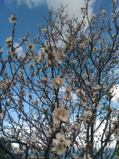 #almond flowers and #blue #sky... this the #winter in #sicily, #italy