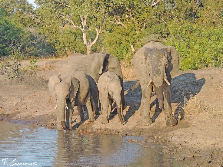 elefante africano de sabana Loxodonta africana. Manada de elefantes africanos
