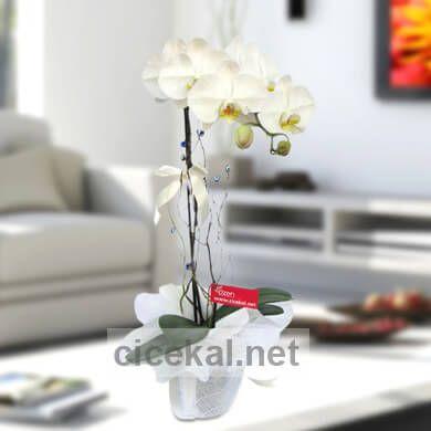 Bol Kandilli Beyaz Orkide