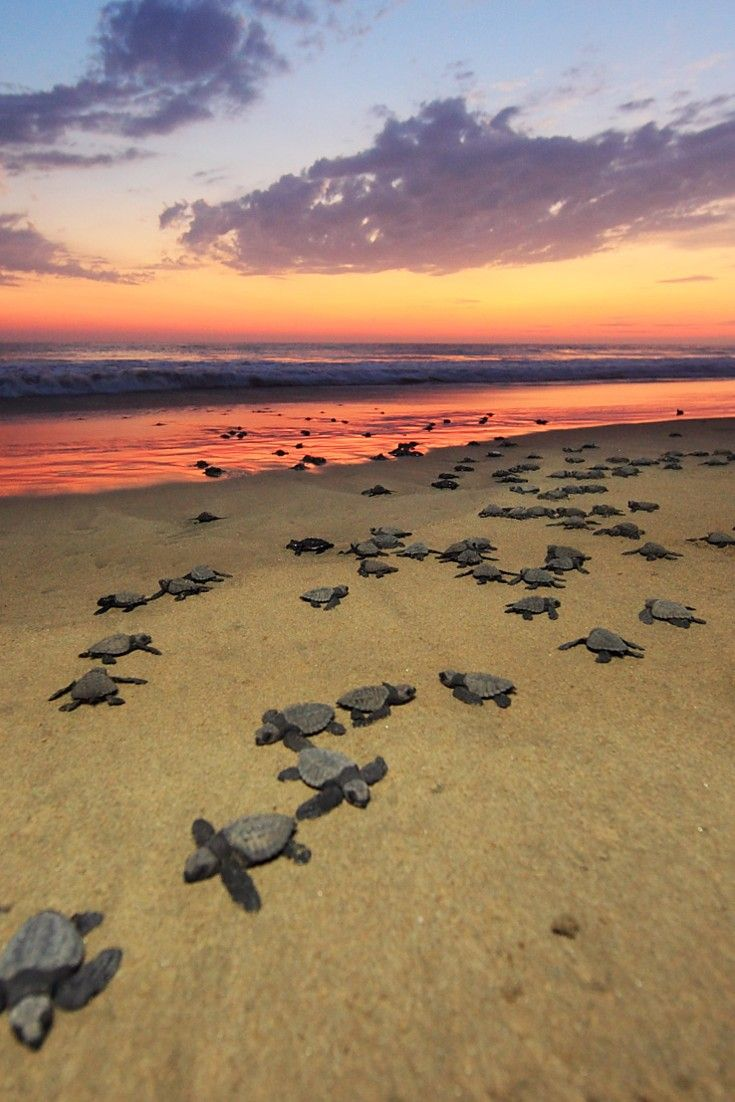 Playa Viva resort is close to a turtle breeding ground and guests can assist at the local sanctuary. Juluchuca, Guerrero, Mexico. Num 39- watch baby turtles hatch