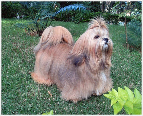 Lhaso Apso, this looks like my Sasha. I had her for 11 years.
