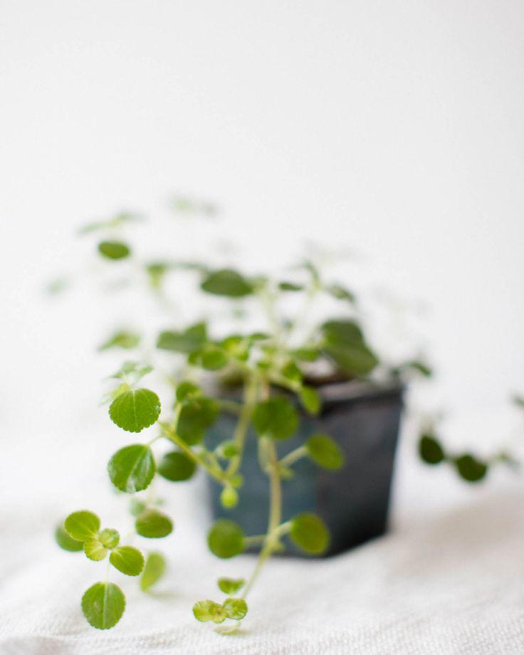 Pilea Depressa a.k.a. Miniature Peperomia in a self-watering pot