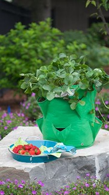Our lovely Strawberry Planter, in action.