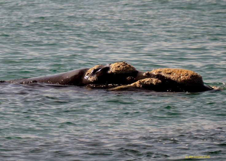 Southern Right Whale 2