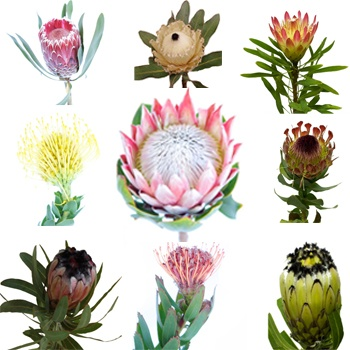 Flower Spotlight: Protea blog.fiftyflowers.com