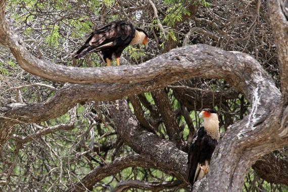 Warawara birds in Arikok National Park