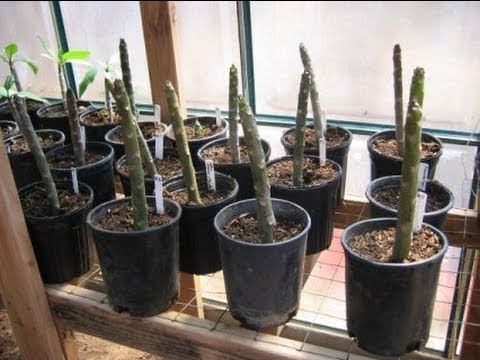 How To Grow Plumeria From Cuttings