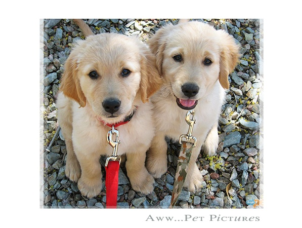 1000+ Images About Baby Golden Retrievers On Pinterest