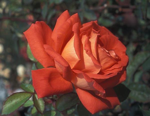 Las Vegas Hybrid Tea Rose - strong fragrance