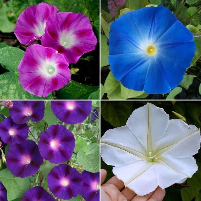 Bulk Top O The Morning Morning Glory Flower Seed Mix With Images Flower Seeds Flower Garden Plans Moonflower Vine