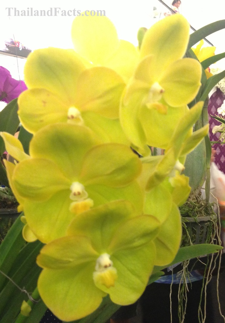 ThailandFacts.com yellow orchid