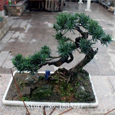 [Visit to Buy] Bonsai podocarpus Seeds 100pcs 10kinds mix tree Seeds Novel Plant for Garden Free Shipping #Advertisement