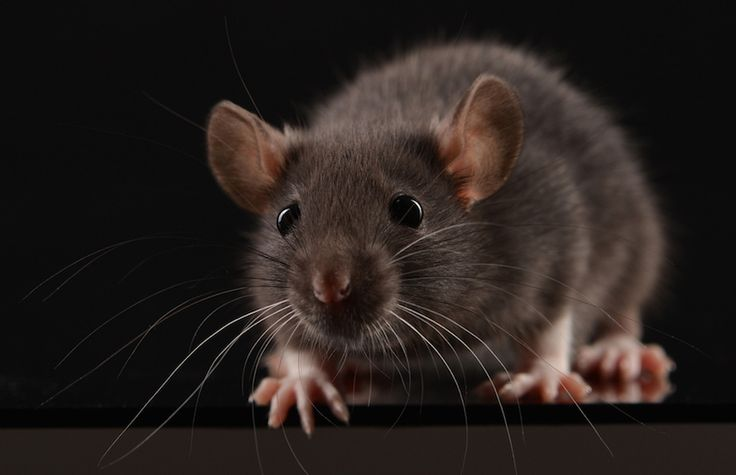 マウス実験でキラー・ニューロンを特定