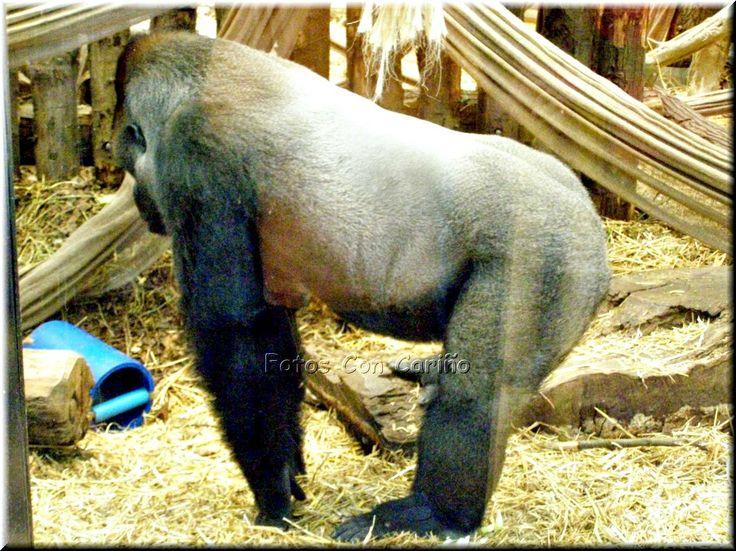 Fotos Con Cariño: Gorilas de lomo plateado, gorila de montaña (Goril...