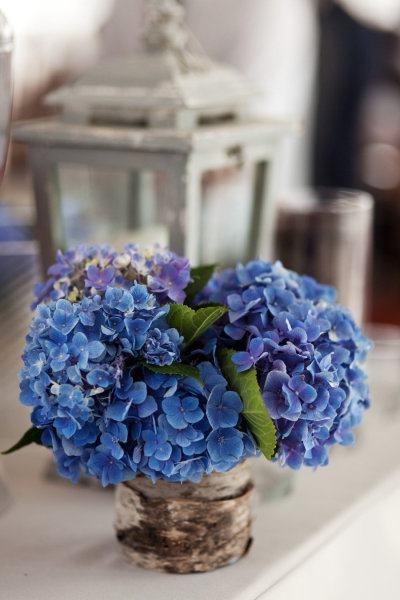 hortensias bleus   Finistère Bretagne