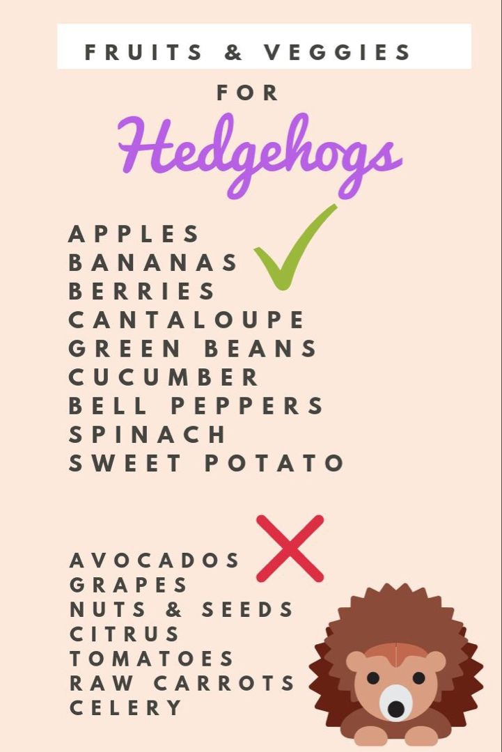 Hedgehogs hedgehog pet hedgehog food hedgehog diet