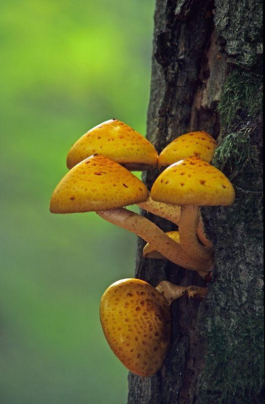 11 Best Mushroom Tattoos Meaning Images On Pinterest Mushroom