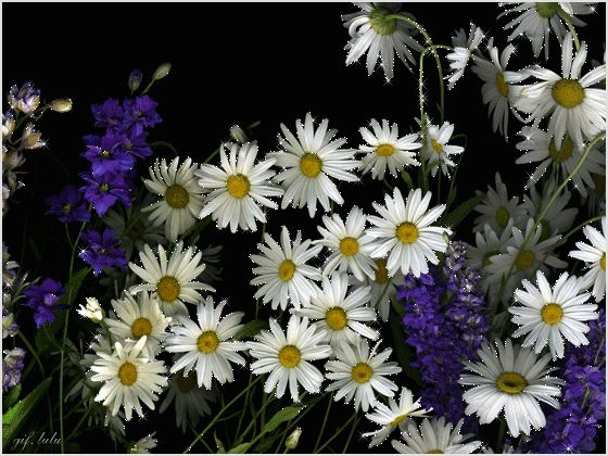 Красивые картинки и анимации   Ромашки, Цветы и Анимация