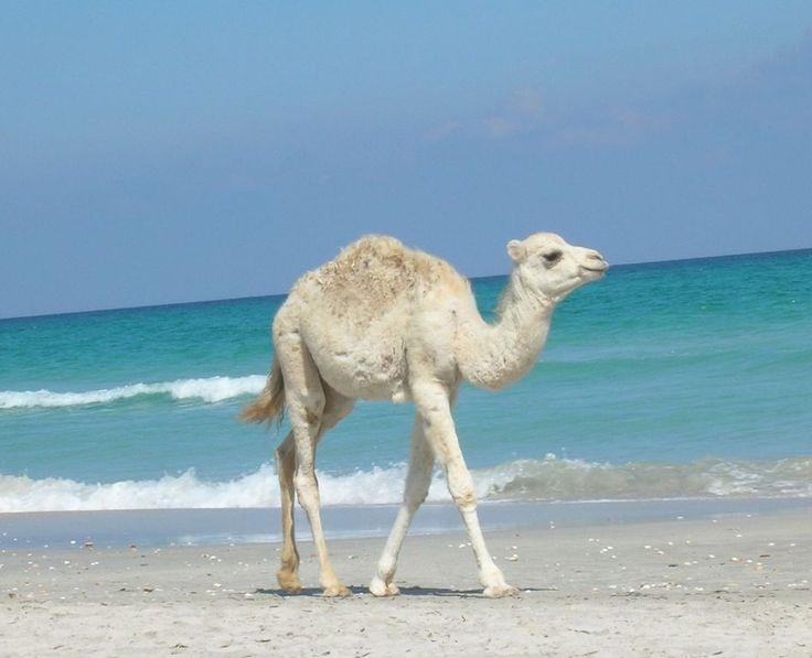 Baby-Kamel in Tunesien