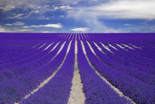 purple lavender field, Provence, France