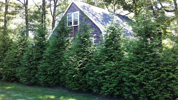 Shrubs For Privacy Screening Green Giant Arborvitae Fast Growing Shade Trees Green Giant Tree