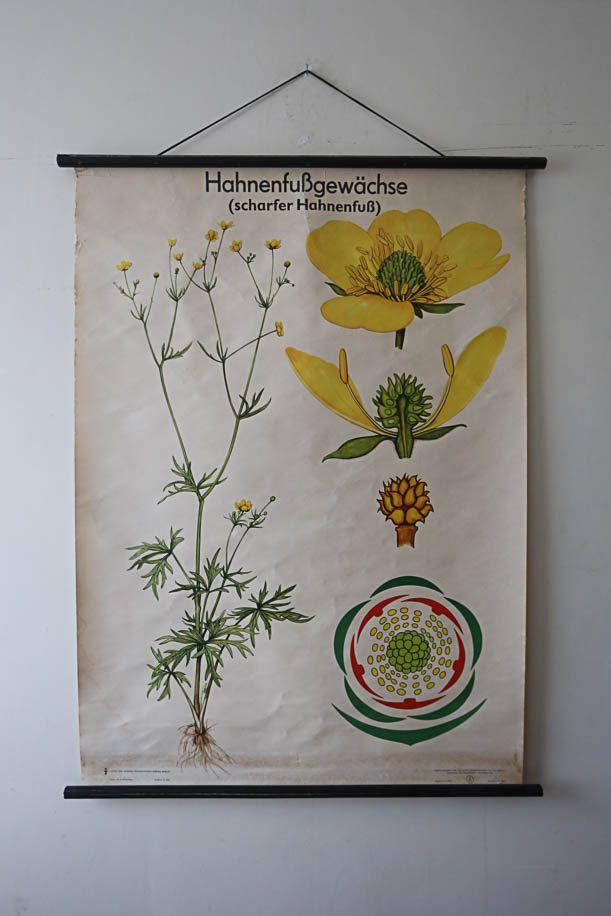 Original BOTANICAL Vintage German School Wall Chart RAGWEED BUTTERCUP Yellow Flower Botany Beautiful Rare Volk und Wissen Ed