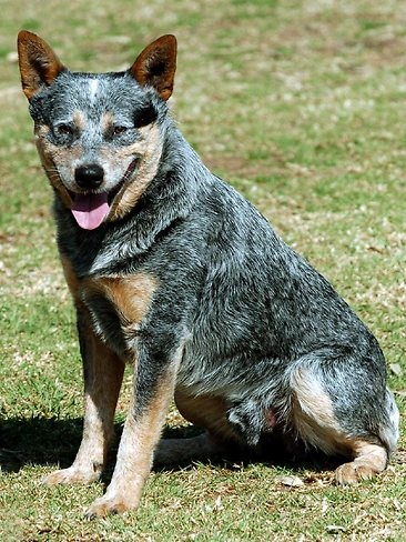 Australian Icon: The sheep and cattle dog