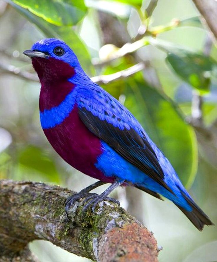 COTINGA MACULADO (Cotinga maculata) Also known as cotinga franjeado or crejoá (in Brazil, it is a species of passeriform bird belonging to the genus Cotinga of the family Cotingidae. It is endemic to the Atlantic forest of southeastern Brazil. It has the back of blue cobalt blue; Dark purple bottoms with a cobalt blue collar on the chest and most of the upper wing and tail feathers, black. The female has a blackish brownish color with whitish scaling and has a white eye ring.