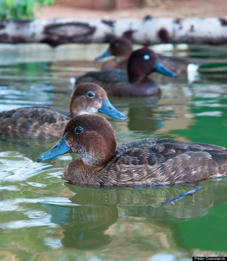 MADAGASCAN POCHARD....an extremely rare diving duck.....thought to be extinct in the late 1990s....rediscovered at Lake Matsaborimena in Madagascar in 2006.... a flock of nine adults and four recently hatched ducklings were discovered....as of March 2013 the population is around 80 individuals