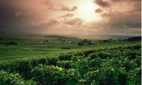 From the Guardian - all about the harvest. Plus great views near the Grand Cru village of Verzy