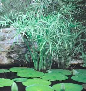 Creating balance in your water garden: use oxygenating plants, bog/marginal plants, hardy plants, tropical plants, floating plants and blooming plants.