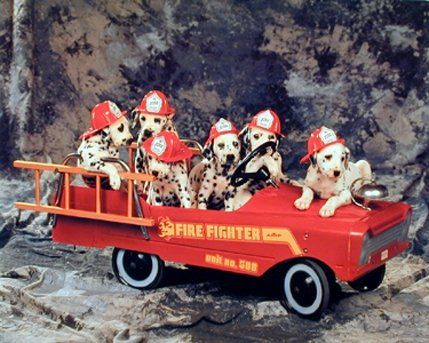 This poster captures the image of Dalmatian puppies were sitting on a fire truck which grab everyone's attention. Dalmatian puppies are very active. Dalmatian puppies also usually love water. This particular poster made to catch attention in the room and goes with any type of home decor style. Ensures high quality paper and color accuracy.