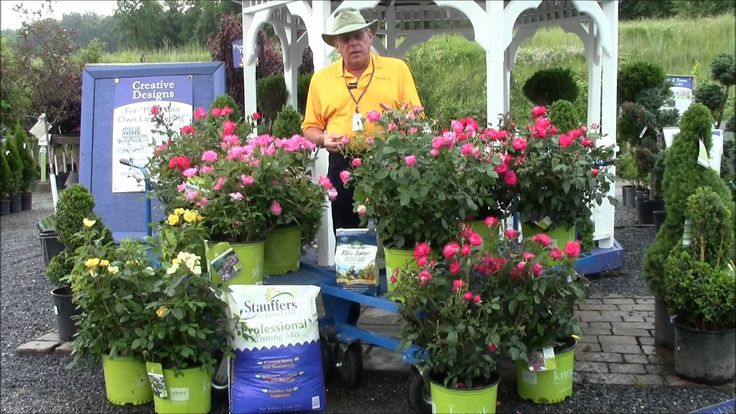 How to Care for Knock Out Roses with Stauffers Garden Center - YouTube
