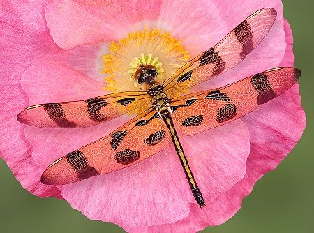 "How to attract Dragonflies...What do they eat?  Mosquitoes (90% of their diet), aphids, flies, wasps, ants...basically, anything on your property that you would want eaten!  Dragonflies are voracious carnivores.  Think of them as cheetahs of the air.  17th-century Japanese warriors called them ""invincible insects."