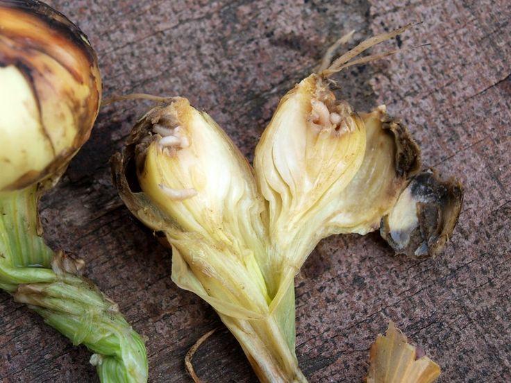 Луковица пораженная личинками луковой мухи
