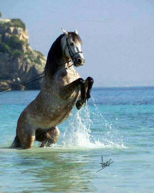 Andalusian Stallion Rearing, Horse In The sea, Beautiful Animal #HorseColicSymptomsFree http://www.loveyour.horse . Please also visit www.JustForYouPropheticArt.com for colorful, inspirational art and stories. Thank you so much!