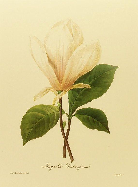 Redoute Japanese Magnolia Art Print, White Shabby Chic Decor, Flower Print (Easy-to-Frame 9 x 12) No. 77
