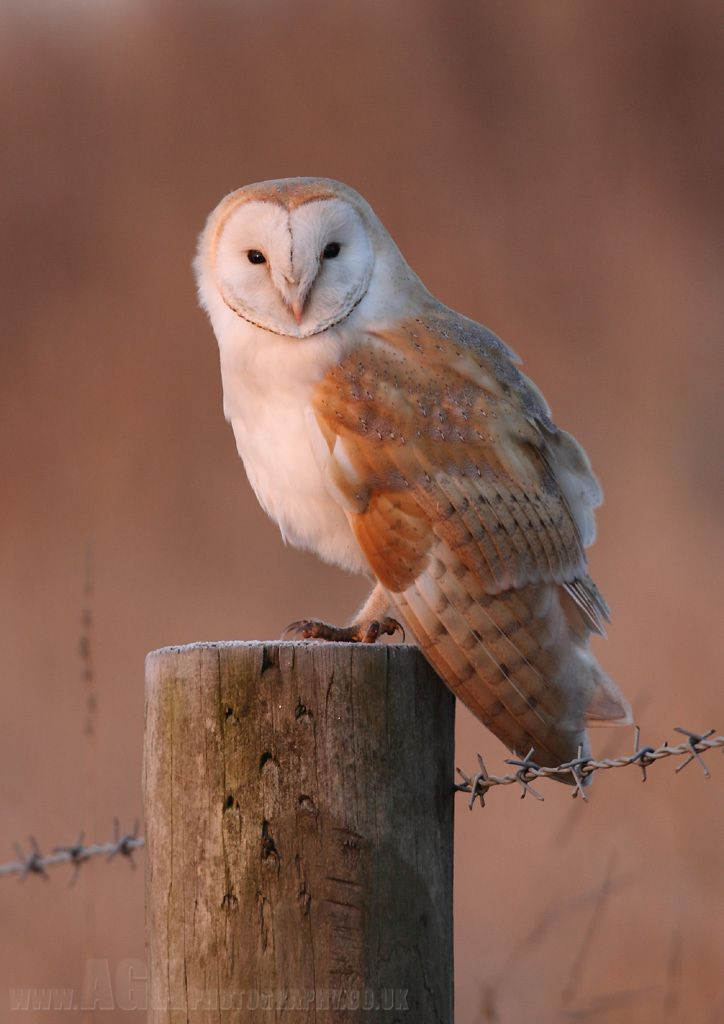 """Barn Owl by ~Albi748 on deviantART. """"Barn Owl, taken at first light on a cold and frosty morning...."""""""