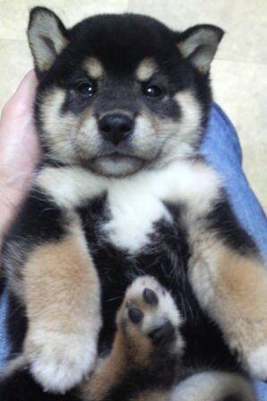 Shiba iun puppy..