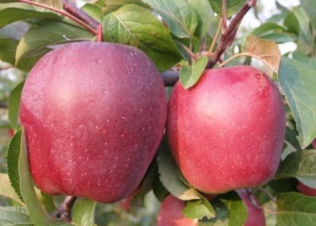 прививка яблони весной на дичку