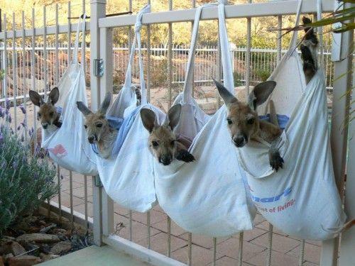 Kangaroo Sanctuary, Alice Springs. All little Joeys like to curl up in sacks. No joke.
