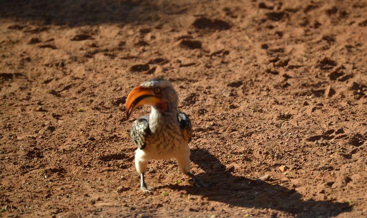 Toekan/Southern Yellowbilled Hornbill at Sondela