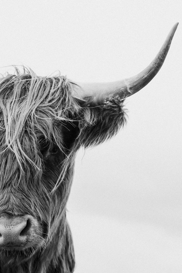 Black and White Highland Cow Print, Scottish Coo, Shaggy Cow, Scotland, Cow Art, Rustic Decor, Farmhouse, Eclectic Wall Art Photography