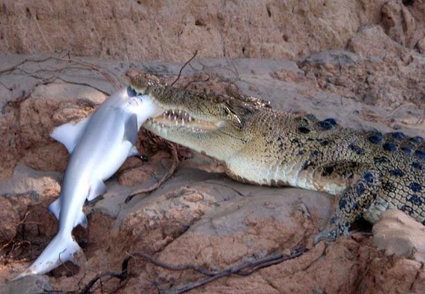 Your eyes do not deceive you. That is a crocodile eating a shark.