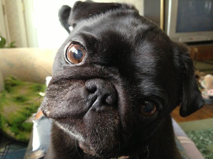 #pug #dog