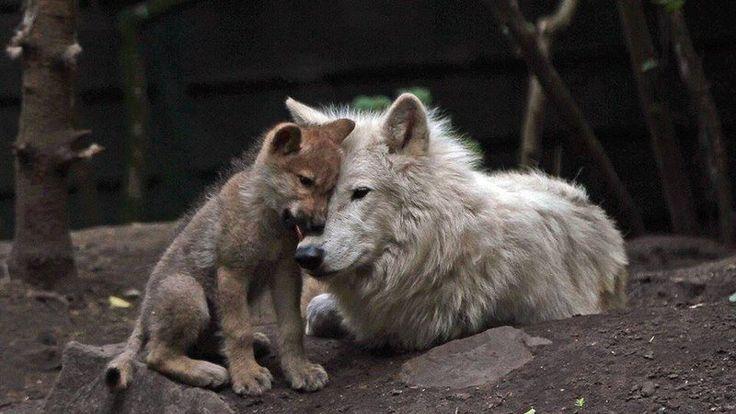 Pétition · Madame Segolène Royale: Non à la chasse aux loups en France ! · Change.org