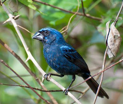 azulão_cyanocompsa cyanea Brazilian Birds